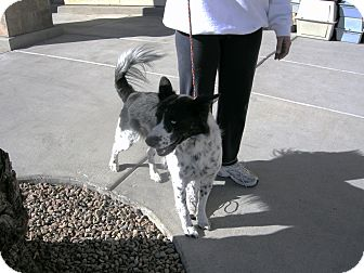 Border Collie Mix Dog for adption in Las Vegas, Nevada - Laddie