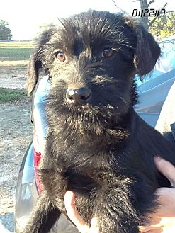 Labradoodle Mix Puppy for Sale in Springfield, Virginia - Zoe