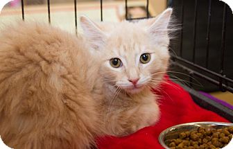 Domestic Longhair Kitten for Sale in Irvine, California - Creamsicle