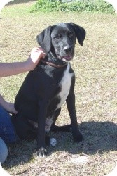 Labrador Retriever Mix Dog for Sale in Crawfordville, Florida - Rufus