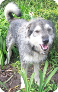 Terrier (Unknown Type, Medium)/Alaskan Malamute Mix Dog for Sale in Norwalk, Connecticut - Jeffrey - adoption pending