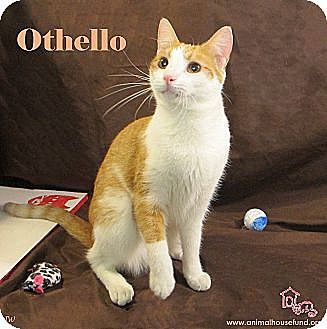 Domestic Shorthair Cat for adoption in St Louis, Missouri - Othello