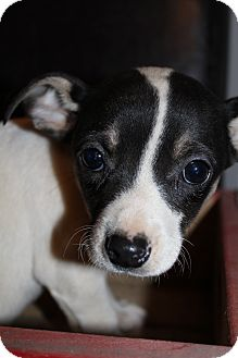 Chihuahua Mix Puppy for Sale in Bedminster, New Jersey - Smudge McGruff