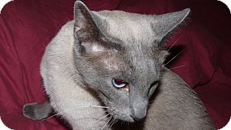 Siamese Cat for Sale in Bentonville, Arkansas - Stanley