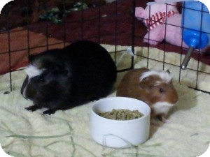 Guinea Pig for Sale in Costa Mesa, California - Gus and Ryo