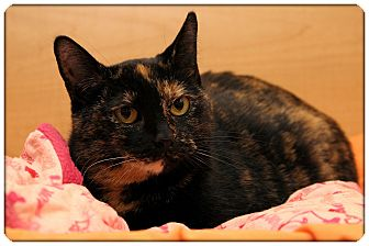 Domestic Shorthair Cat for adoption in Sterling Heights, Michigan - Sassy
