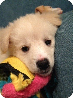 Golden Retriever Mix Puppy for Sale in White River Junction, Vermont - Ginny Pup