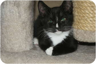 Domestic Shorthair Cat for adoption in Barnegat, New Jersey - Charlie