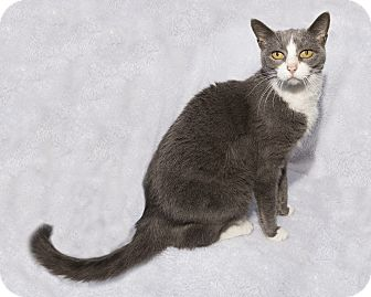 Domestic Shorthair Cat for adoption in Mt. Prospect, Illinois - Alllie