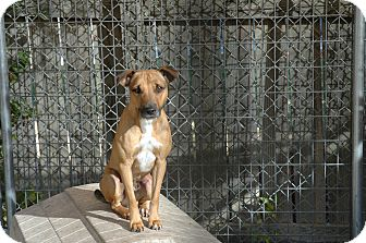 Shar Pei Mix Dog for adption in san antonio, Texas - Louie