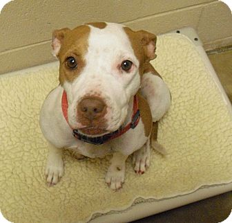 American Pit Bull Terrier Mix Dog for adption in Wickenburg, Arizona - Bambi