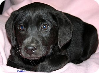 Cocker Spaniel/Labrador Retriever Mix Puppy for Sale in Glastonbury, Connecticut - Zappo~meet me!~