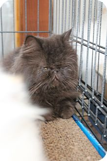 Persian Cat for Sale in santa monica, California - Arabica