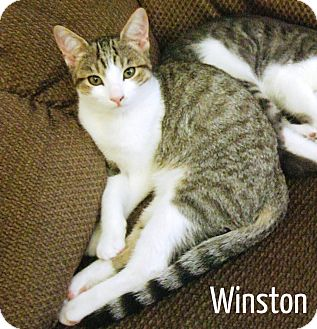 Domestic Shorthair Kitten for Sale in Simi Valley, California - Winston