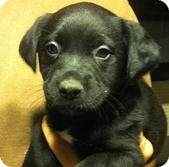 Shepherd (Unknown Type) Mix Puppy for Sale in Russellville, Kentucky - Annie