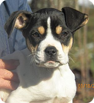 Boston Terrier/Terrier (Unknown Type, Small) Mix Puppy for Sale in Sussex, New Jersey - Bubbles
