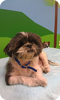 Shih Tzu Mix Dog for Sale in New Windsor, New York - Willie