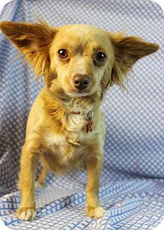 Chihuahua Mix Dog for Sale in Westminster, Colorado - Betty