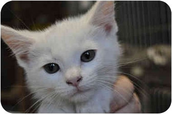 Domestic Shorthair Cat for adoption in Grafton, West Virginia - Smudge