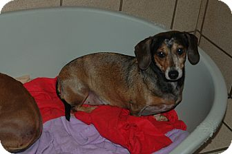 Dachshund Dog for Sale in san antonio, Texas - Binki