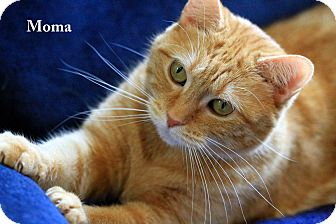 Domestic Shorthair Cat for Sale in Gaithersburg, Maryland - Moma