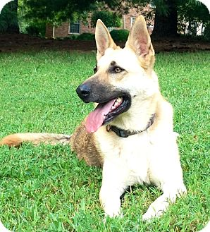 German Shepherd Dog Dog for adption in Nashville, Tennessee - Nova
