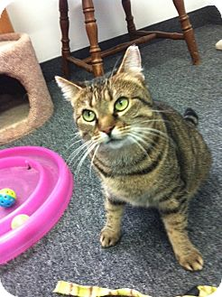 Domestic Shorthair Cat for adoption in Jenkintown, Pennsylvania - Jade