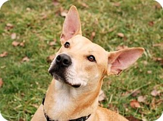 Carolina Dog Mix Dog for adption in Kettering, Ohio - Dodger