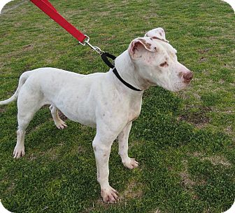 American Pit Bull Terrier Mix Dog for adption in Scottsdale, Arizona - Joey