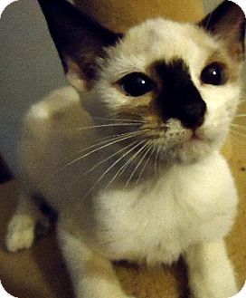 Siamese Kitten for Sale in Jacksonville, Florida - Laina