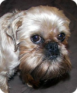 Brussels Griffon Dog for Sale in Burneyville, Oklahoma - HARLEY- ADOPTION PENDING