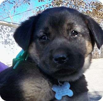 Shepherd (Unknown Type)/Labrador Retriever Mix Puppy for Sale in Manchester, Connecticut - BEAUTY MEET ME 3 22