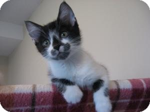 Domestic Shorthair Kitten for Sale in Eagan, Minnesota - Jackson