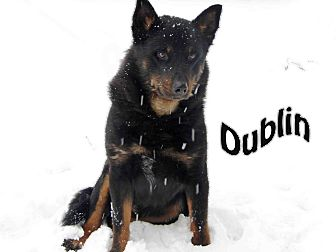 Shepherd (Unknown Type) Mix Dog for Sale in Hamilton, Montana - dublin
