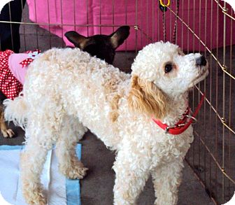 Poodle (Standard) Mix Puppy for adption in San Diego, California - Tango