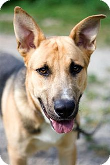 Shepherd (Unknown Type) Mix Dog for Sale in New York, New York - Rosco