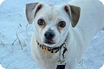 Chihuahua Mix Dog for Sale in Cheyenne, Wyoming - Nosey