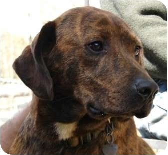 Labrador Retriever/Plott Hound Mix Dog for adption in Afton, Tennessee