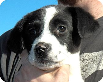 Labrador Retriever/Border Collie Mix Puppy for Sale in Sussex, New Jersey - Colby