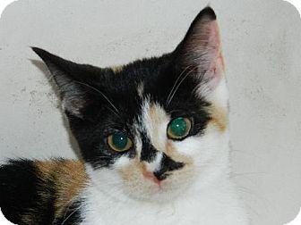 Calico Cat for adoption in Elizabeth City, North Carolina - Webbie