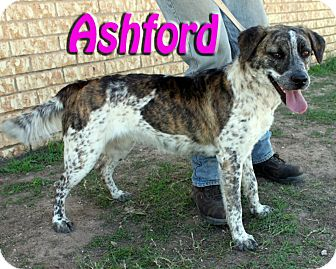 Australian Cattle Dog Mix Dog for Sale in Midland, Texas - Ashford
