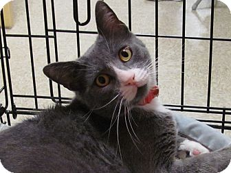 Domestic Shorthair Cat for adoption in Diamond Bar, California - ALI