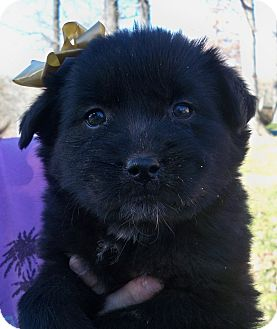 Labrador Retriever Mix Puppy for Sale in Manchester, Connecticut - princess MEET M,E 3/22