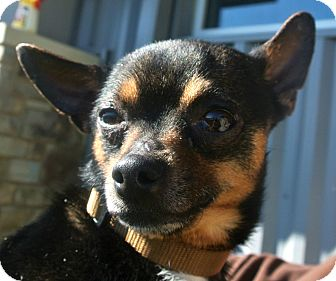 Chihuahua Mix Dog for adption in white settlment, Texas - Sylvester