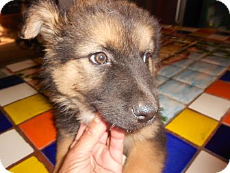 German Shepherd Dog Mix Puppy for Sale in San Diego,, California - Liz