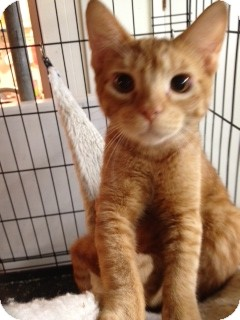 Domestic Shorthair Cat for adoption in Wenatchee, Washington - Rusty