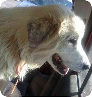 Great Pyrenees Mix Dog for Sale in Croydon, New Hampshire - Spencer
