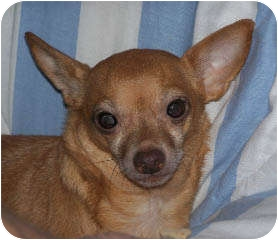 Chihuahua Mix Dog for adption in Clear Lake, Washington - Cooper