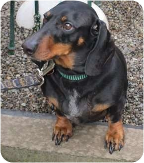 Dachshund Dog for Sale in Portland, Oregon - WILHELM