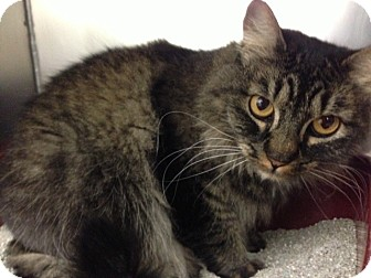 Maine Coon Cat for adoption in San Francisco, California - Luna